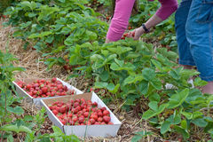 Picking Strawberries. Harvesting fresh fruits and vegetables at a community farm Royalty Free Stock Images