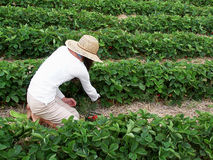 Picking strawberries. Woman on knees picking strawberries Royalty Free Stock Photo