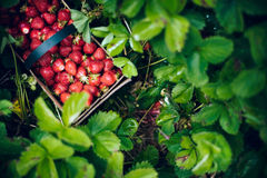 Picking Strawberries. Basket of berries in a strawberry patch Royalty Free Stock Images