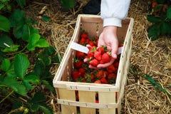 Picking strawberries Stock Photo
