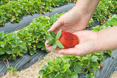Picking strawberries at the berry farm royalty free stock photo