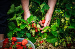 Picking strawberries in container. Women picking strawberries in white container Royalty Free Stock Images