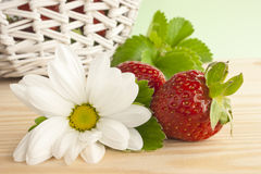 Picking strawberries. Strawberries freshly picked from the garden on a kitchen table. A basket full of strawberries in the background. A white single daisy royalty free stock photo