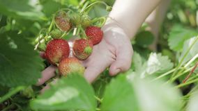 Picking strawberries. Handful of berries in hand. Handful in hand of ripe, red, juicy strawberries on a background of greenery after rain. Close up stock video