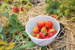 Picking strawberries, home grown fruit and vegetable garden. Royalty Free Stock Image