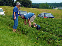 Picking Strawberries at a Local Farm. Moneta, VA, May 21th:  Grandparents and grandchild picking strawberries at the Scott's Farm on May 21th, 2016, Moneta Royalty Free Stock Photography
