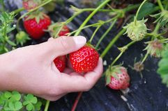 Picking strawberries. Picking a ripe strawberry outdoor Stock Photography