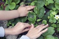 Picking strawberries Royalty Free Stock Photo