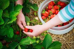 Picking strawberries. Women picking strawberries in container Royalty Free Stock Image