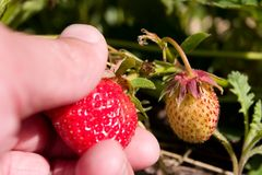 Picking Strawberry. Hand picking a strawberry in the summer Royalty Free Stock Photography