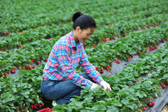 Picking strawberry Stock Images