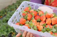 Picking strawberry Stock Photo