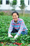 Picking strawberry in field Stock Image
