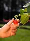 Picking strawberry fruit Stock Photos