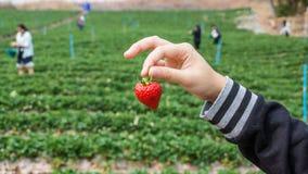 Picking strawberry Royalty Free Stock Image