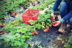 Picking strawberry in garden Stock Photo