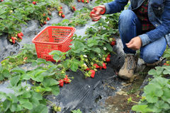 Picking strawberry in garden Stock Photos