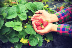 Picking strawberry in hands Stock Photo