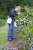 Picking Summer Blueberries Stock Photography