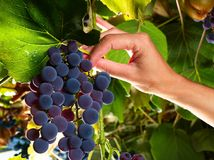 Picking sweet grapes within vineyard Royalty Free Stock Photo