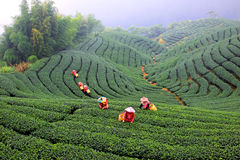 Picking tea Stock Photos