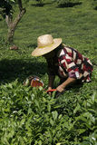 Picking tea. An unidentified woman picks tea leaves on a tea plantation in Artvin,Black Sea,Turkey Royalty Free Stock Images