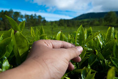 Picking tea leaves Royalty Free Stock Photography