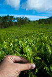 Picking tea leaves Royalty Free Stock Image