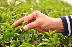 Picking tea leaves by hand Royalty Free Stock Photography