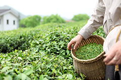 Picking tea leaves in a tea garden. Closeup of farmer picking tea leaves in a tea garden royalty free stock photography