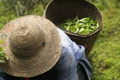 Picking tea leaves royalty free stock photos