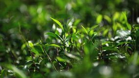 Picking tea on plantation, on January 2016 in Nuwara Eliya, Sri Lanka stock footage