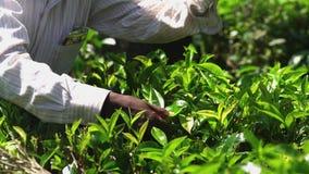Picking tea on plantation, on January 2016 in Nuwara Eliya, Sri Lanka stock video footage