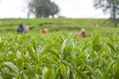 Picking Tea Royalty Free Stock Photo