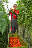 Picking tomato. Farmer picking tomato in a greenhouse Stock Photography