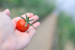 Free Picking Tomato In The Field Royalty Free Stock Photos - 78900758