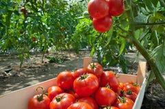 Picking tomatoes Royalty Free Stock Photo