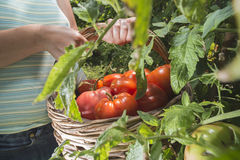Picking tomatoes in basket Royalty Free Stock Images
