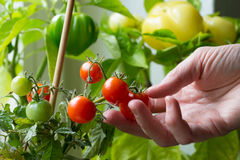 Picking tomatoes Royalty Free Stock Photos