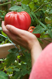 Picking Tomatoes. Woman's hand picking a ripe red tomatoe from garden royalty free stock photography