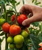 Picking tomatos Royalty Free Stock Image