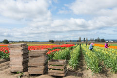 Picking Tulips on Commercial Flower Farm. MOUNT VERNON, WA - APR 10, 2014: Migrant works in flower field picking tulips in Skagit Valley, north of Seattle royalty free stock photography