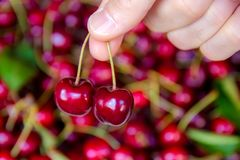 Picking two cherries Royalty Free Stock Images