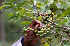 Picking Up A Coffee Beans Stock Images