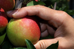 Picking up an apple. From the tree fruit Royalty Free Stock Images