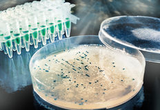 Picking up bacterial colonies from agar plate. Bacterial colony picking for DNA cloning Stock Image
