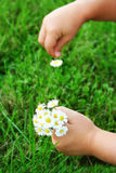 Picking up daisies. Close-up of child's hands picking up daisies. Shallow DOF with focus on flowers and bottom hand stock photos