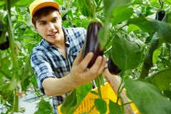 Picking up eggplants. Young farmer picking up ripe eggplants from branches in hothouse Royalty Free Stock Photos
