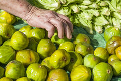 Picking up fresh organic figs Stock Photography