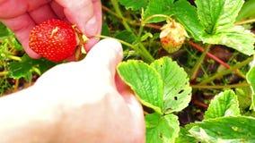 Picking up natural karelian strawberries stock video footage